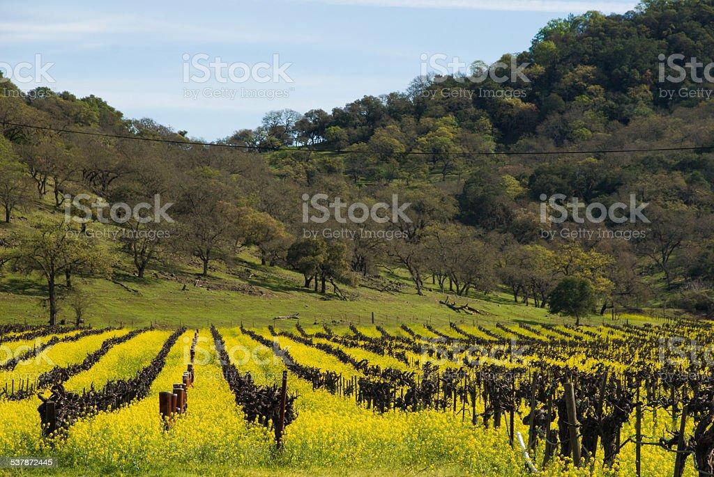 Springtime Yellow Mustard Fields dormant vineyards oak hills Napa California stock photo