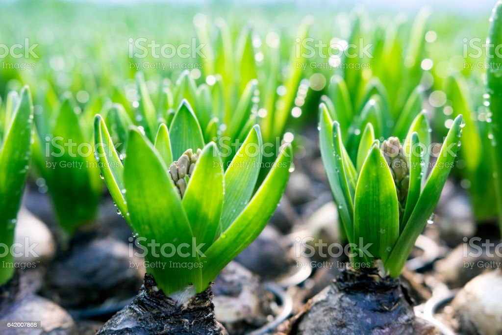 Sprinkled hyacinth  with leaves and buds in spring stock photo