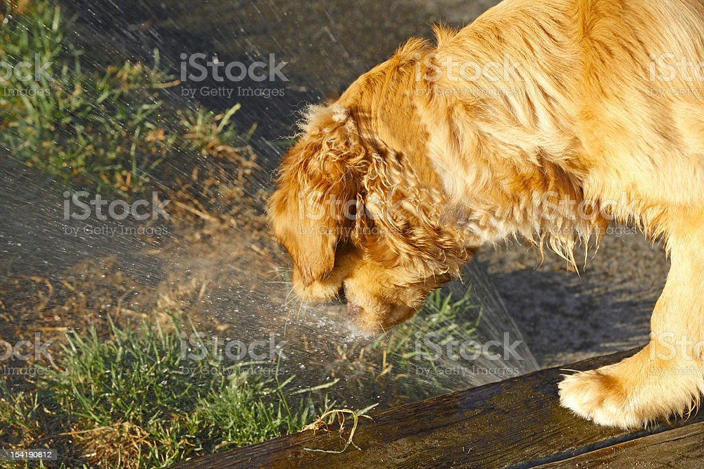 Sprinkler Dog royalty-free stock photo