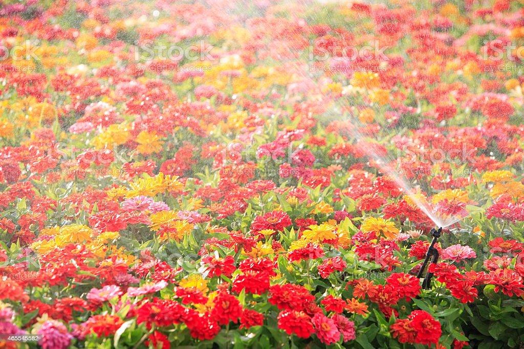 Kropidło Szef Podlewać kwiatów zbiór zdjęć royalty-free