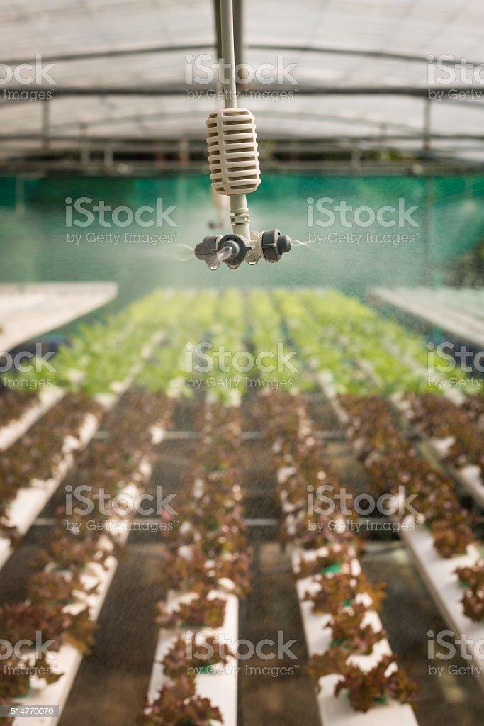 Sprinkler in hydroponics vegetable farm stock photo