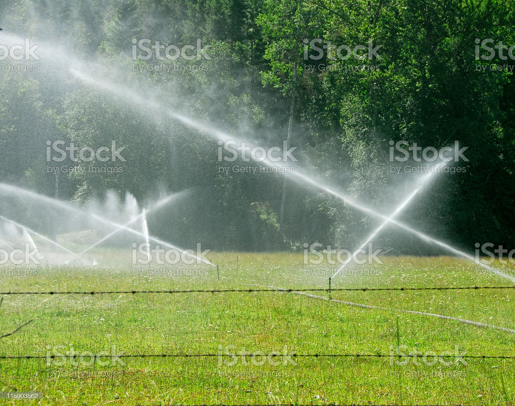 Sprinkling in the meadow. royalty-free stock photo