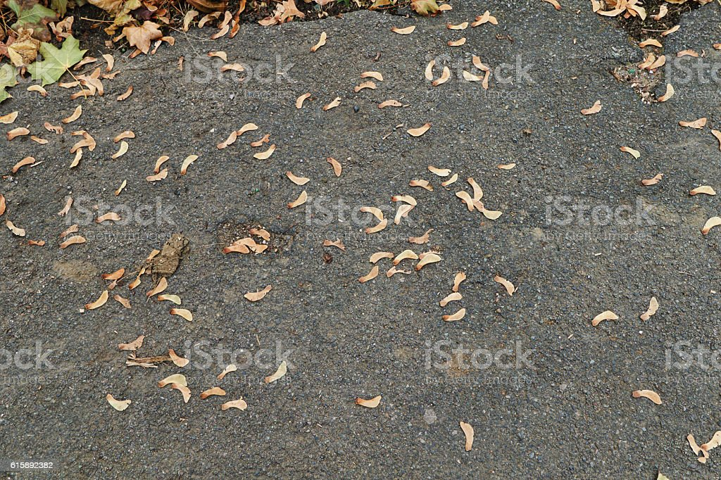 And some seed fell on stony ground sycamore winged seeds stock photo