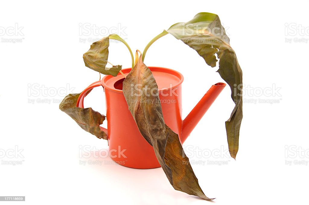 Sprinkling pot with dry plant royalty-free stock photo