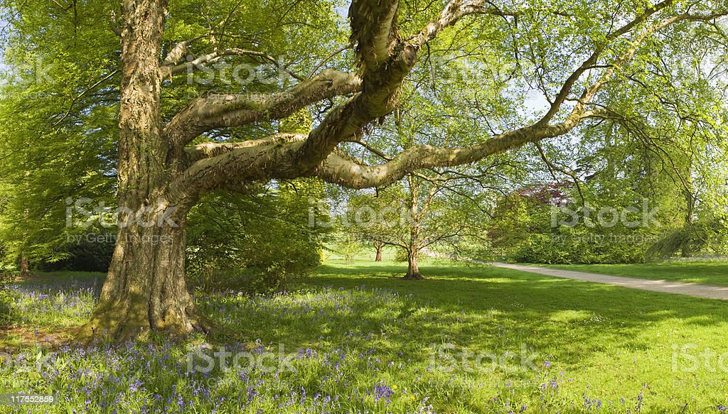 Sprintime scene with bluebells. stock photo