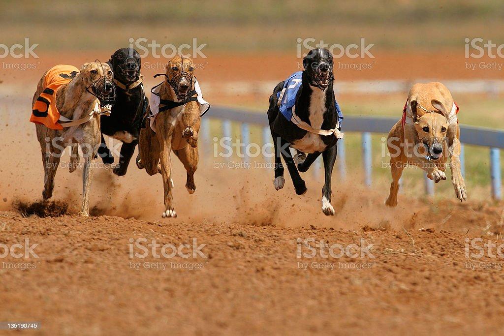 Sprinting greyhounds stock photo