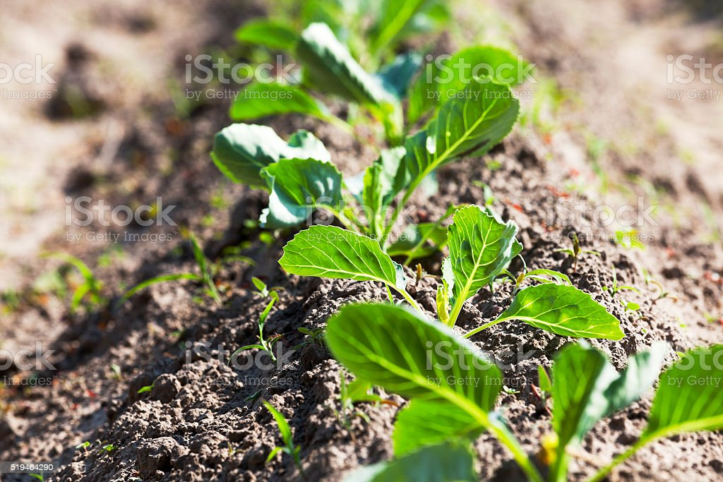 sprout cabbage .  field. stock photo