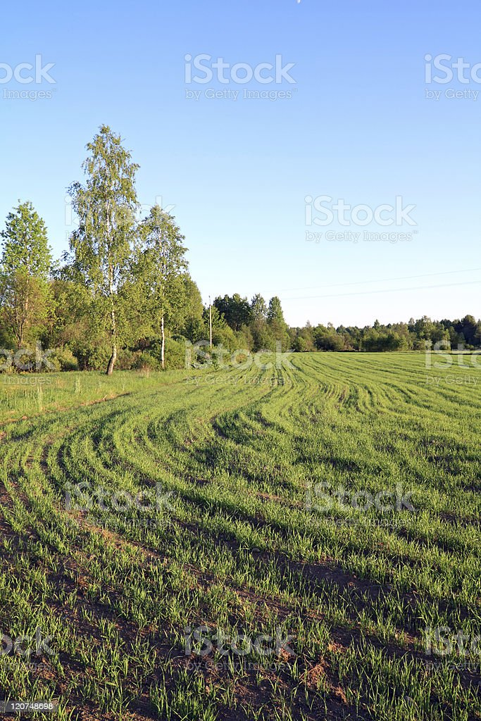 sprout oats on field stock photo