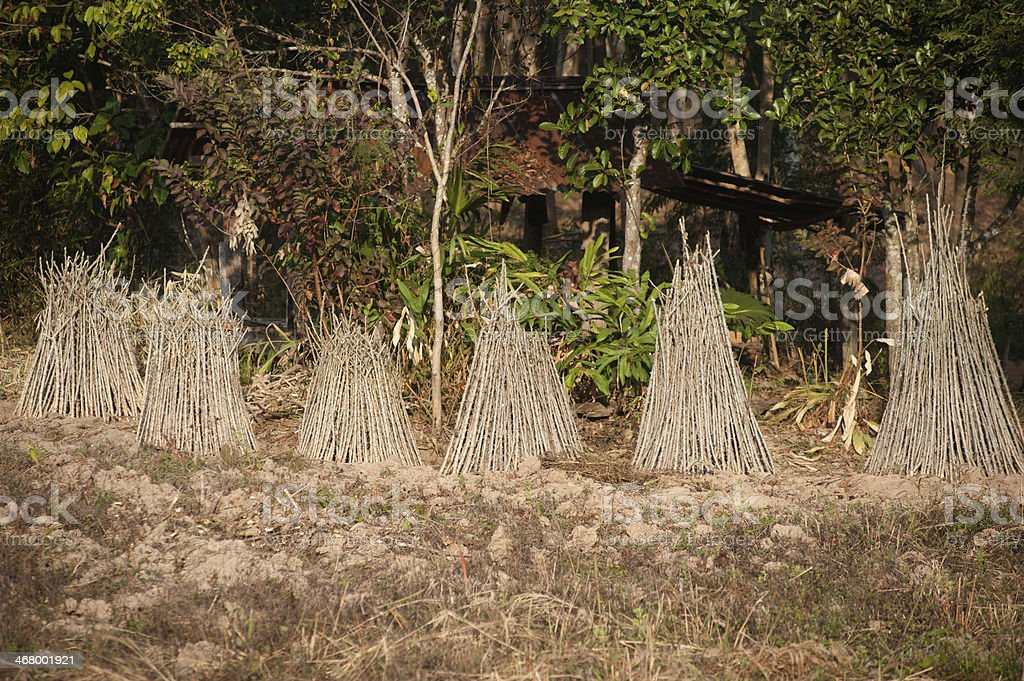 Sprout of cassava. royalty-free stock photo