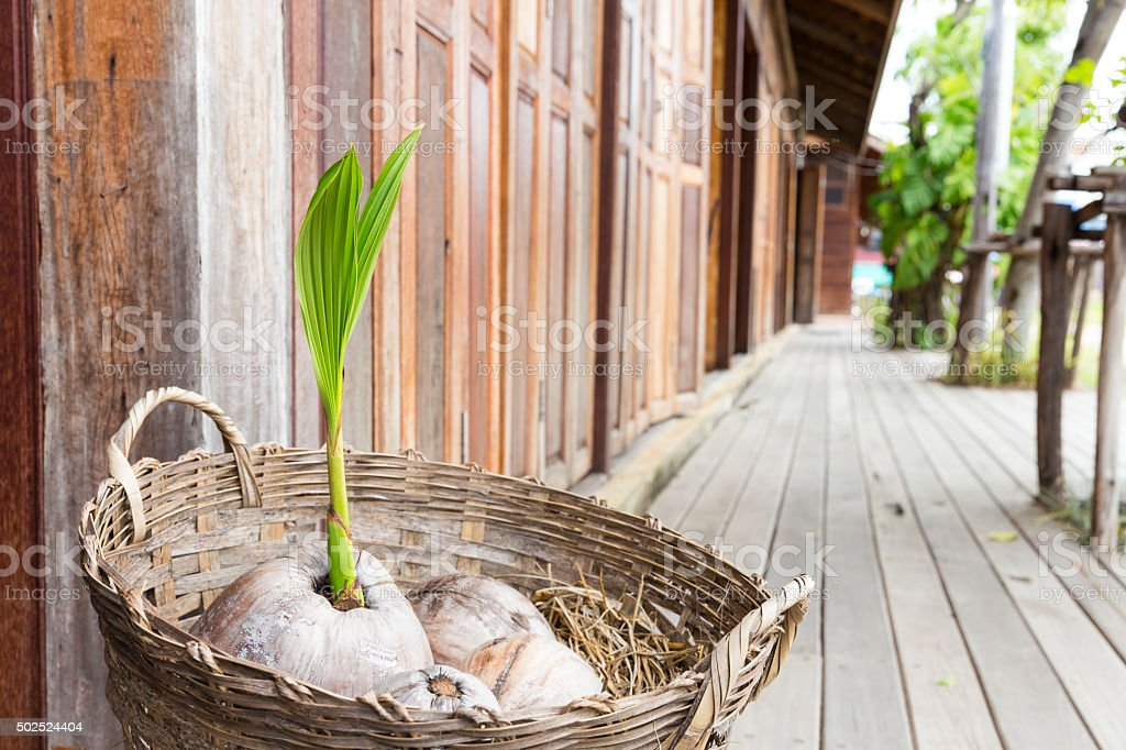 Sprout of coconut tree in the basket stock photo