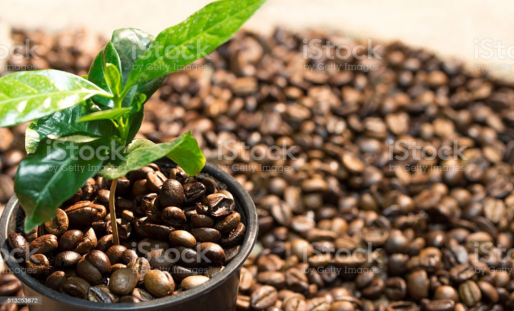 sprout of coffee tree in a pot with coffee beans stock photo