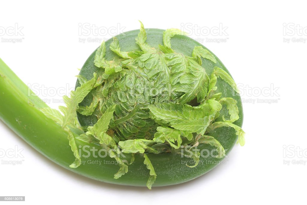 Sprout of drstrich fern stock photo