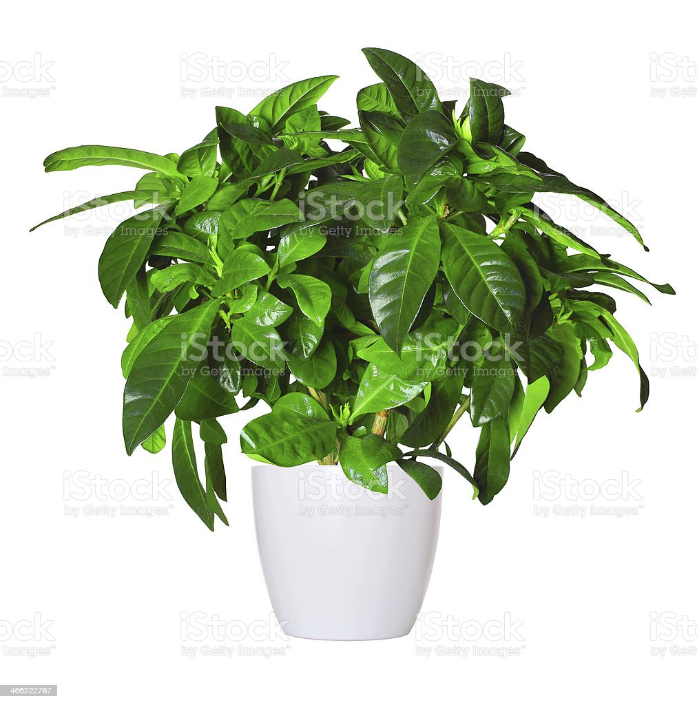 sprout of gardenia a potted plant isolated over white stock photo