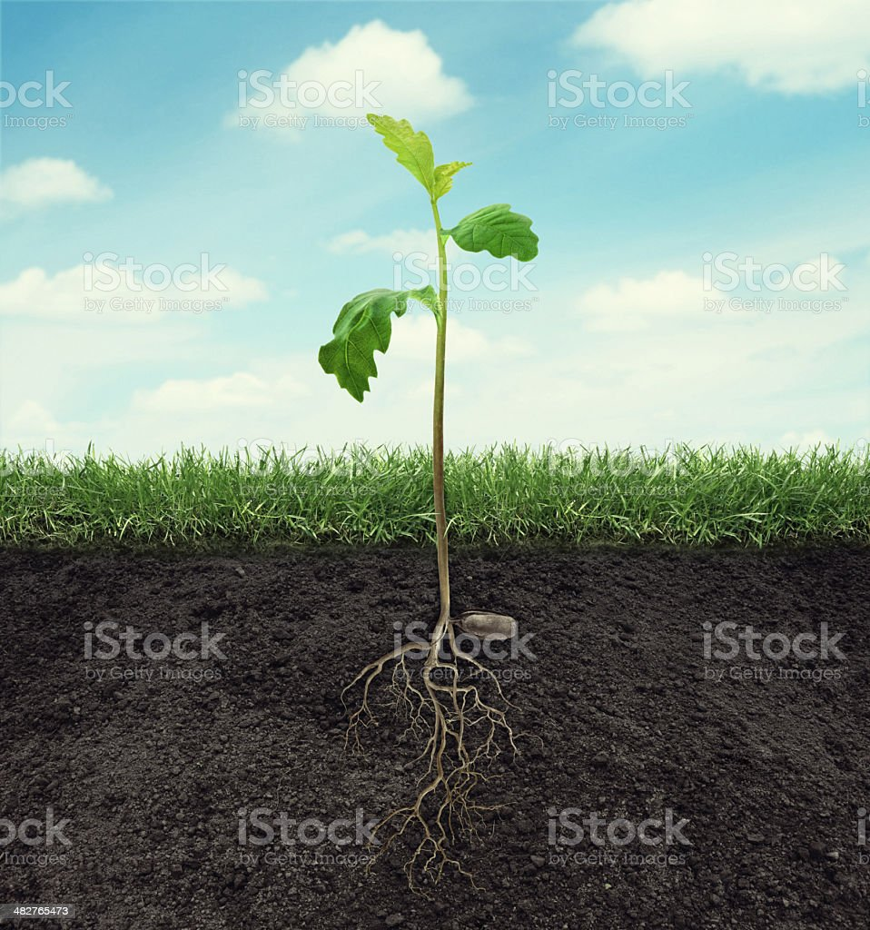 sprout of oak with root in ground at sky background stock photo