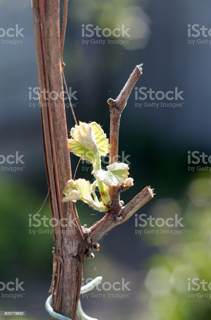 Sprout of Vitis vinifera, grape vine. New leaves sprouting at th stock photo