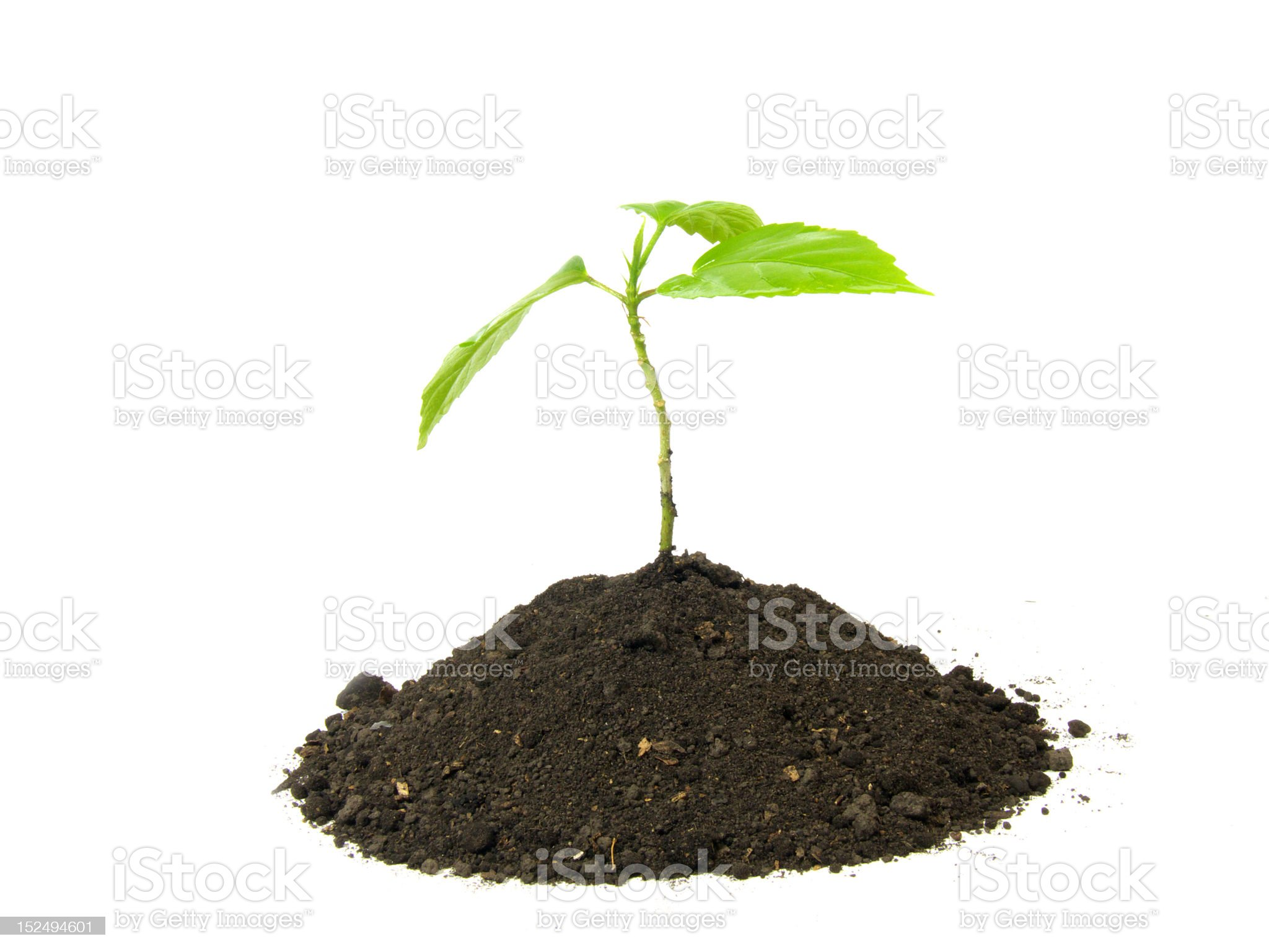 sprout royalty-free stock photo