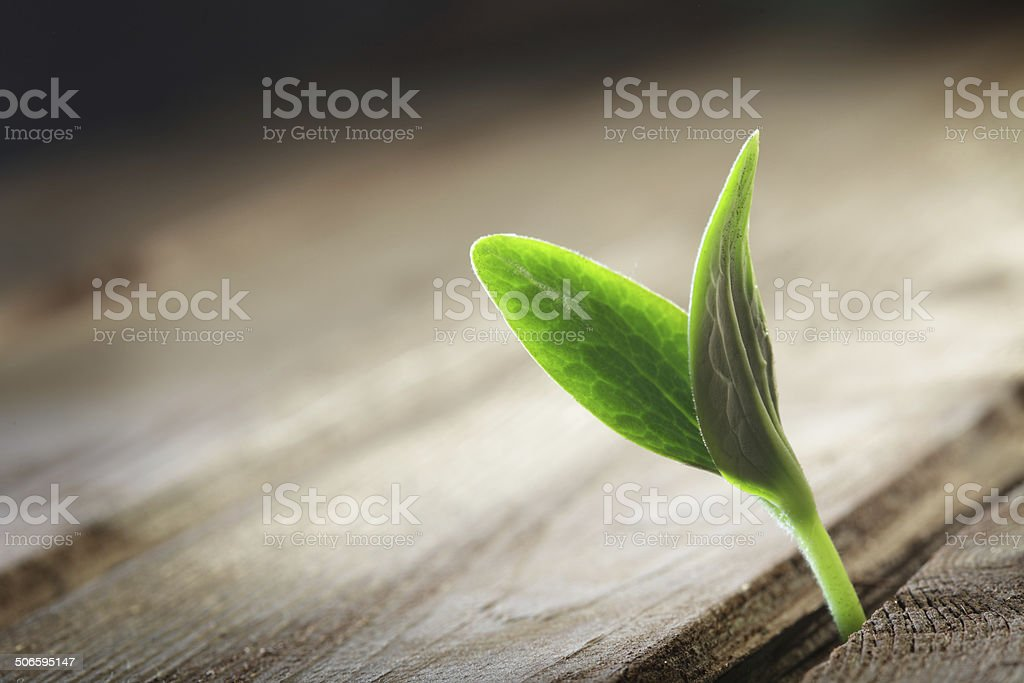 sprout sprouting across the wooden floor stock photo