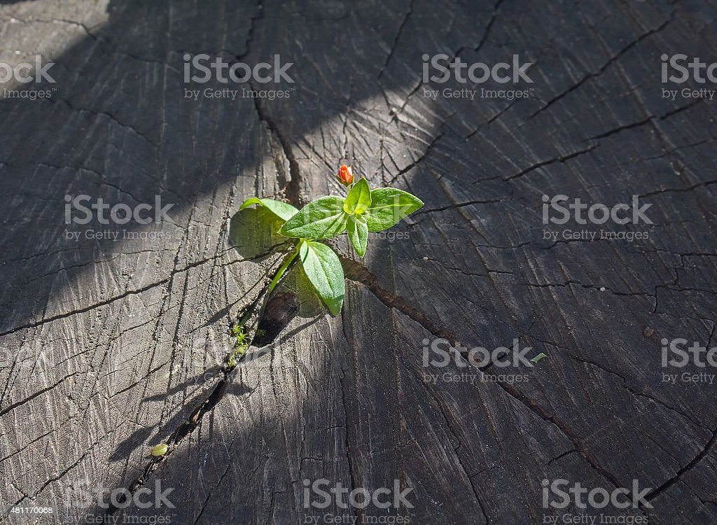 Sprout sprouting from an old tree stump stock photo