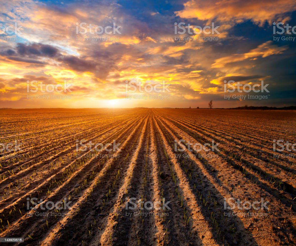 Sprouted cereal in the field stock photo