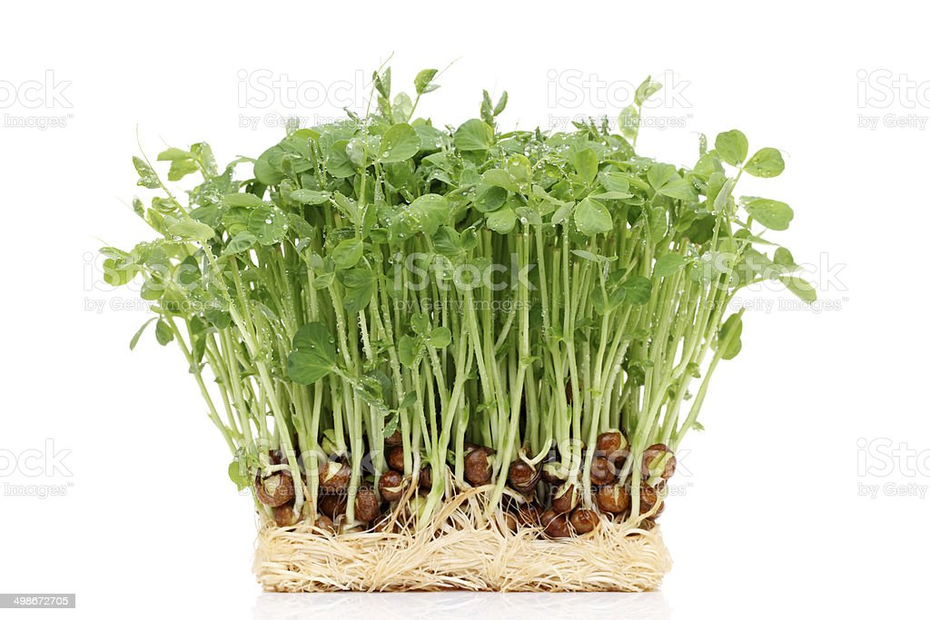 sprouted pea with roots stock photo