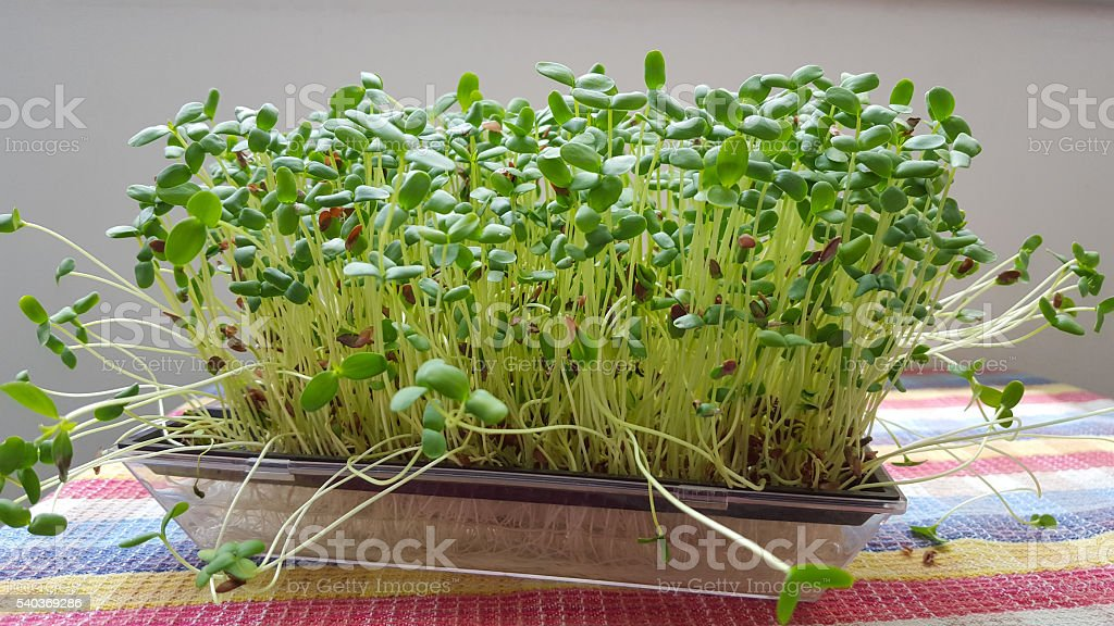 sprouted vegetables in water - linseed sprouts stock photo