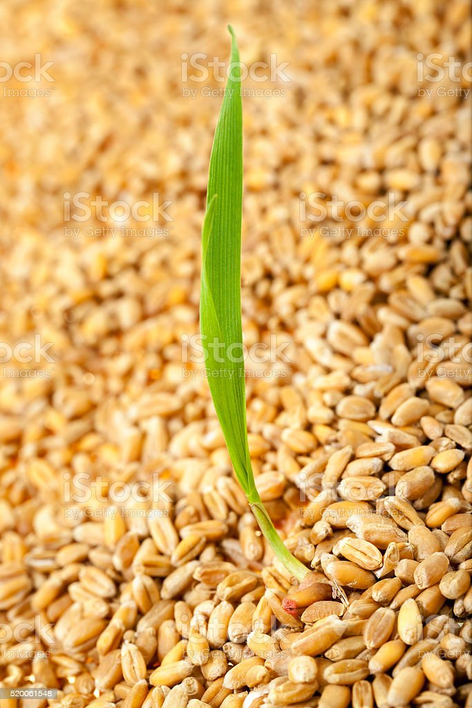 Sprouted wheat grain stock photo