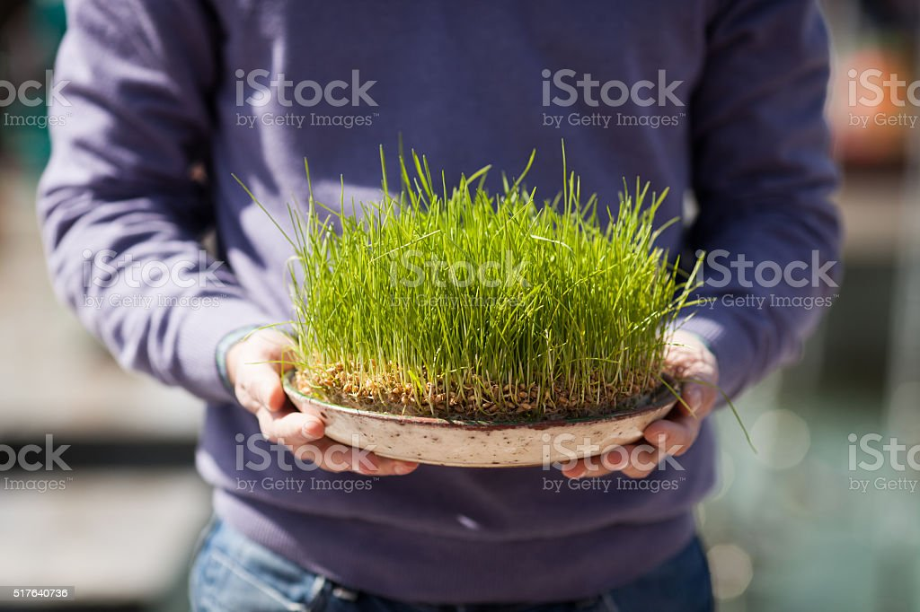 sprouted wheat stock photo