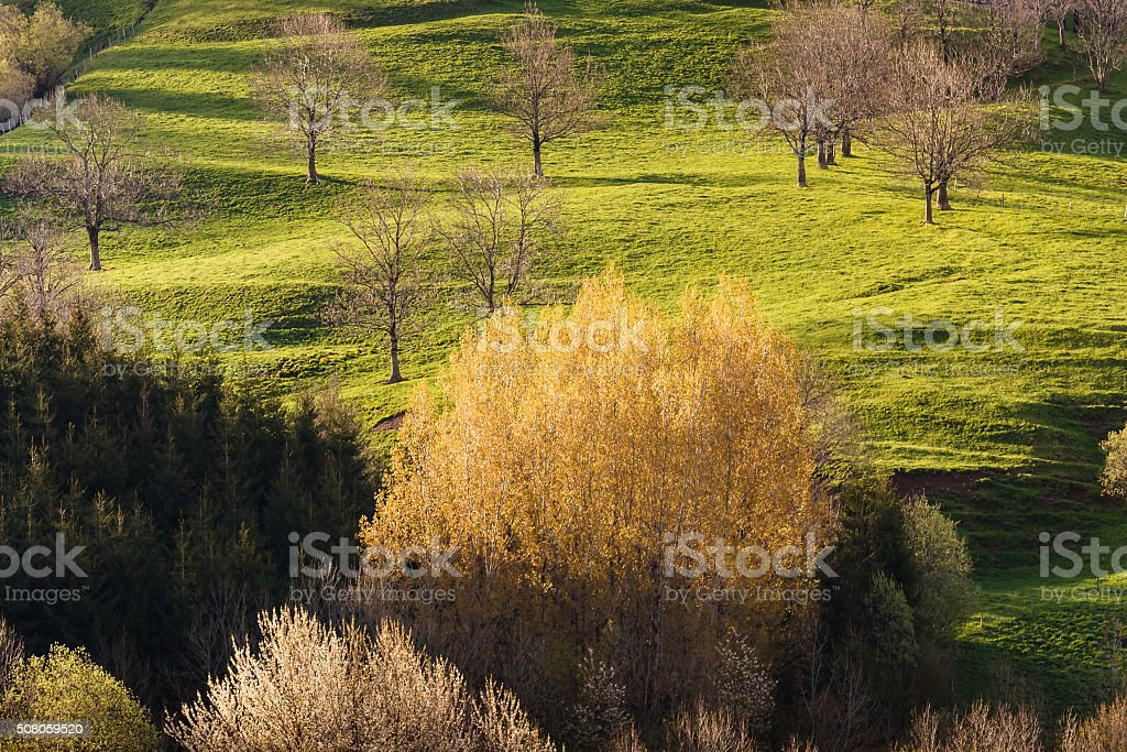 sprouting aspen trees in early spring stock photo