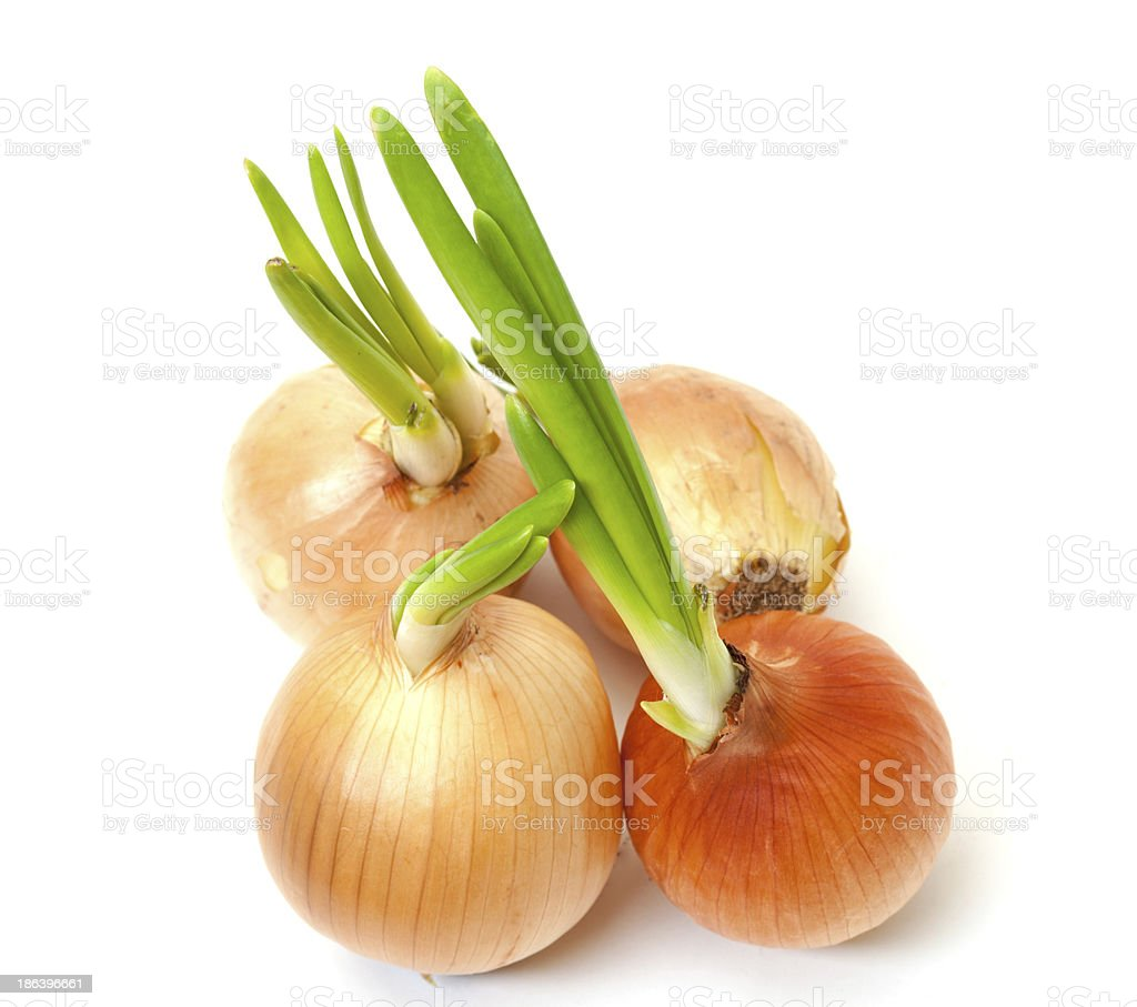 Sprouting Bulb Onions stock photo