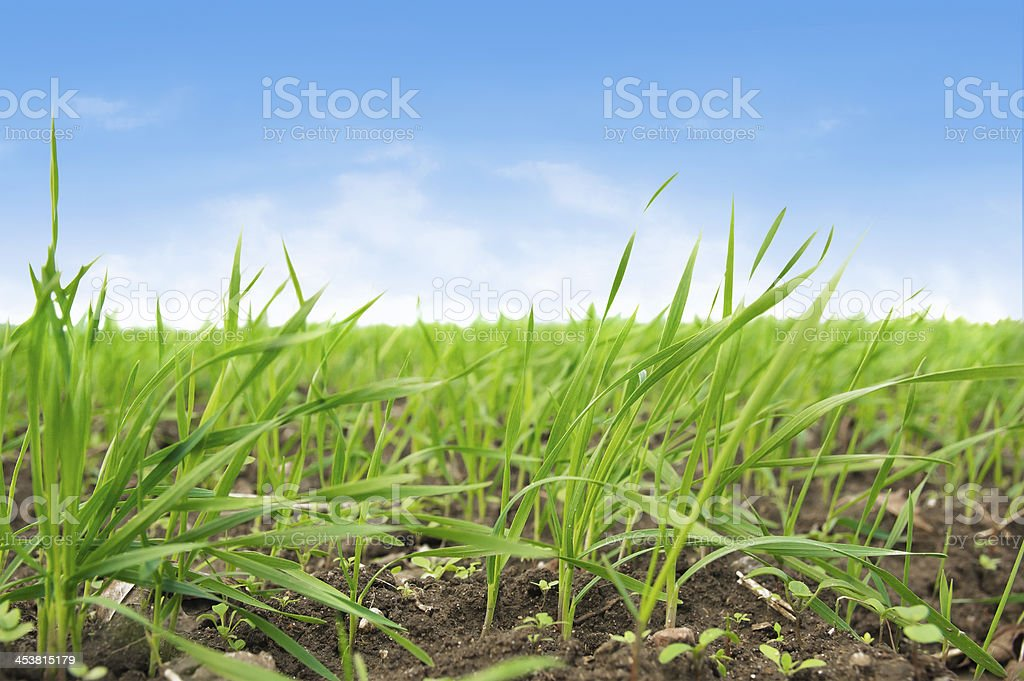 Sprouting crops against blue sky stock photo