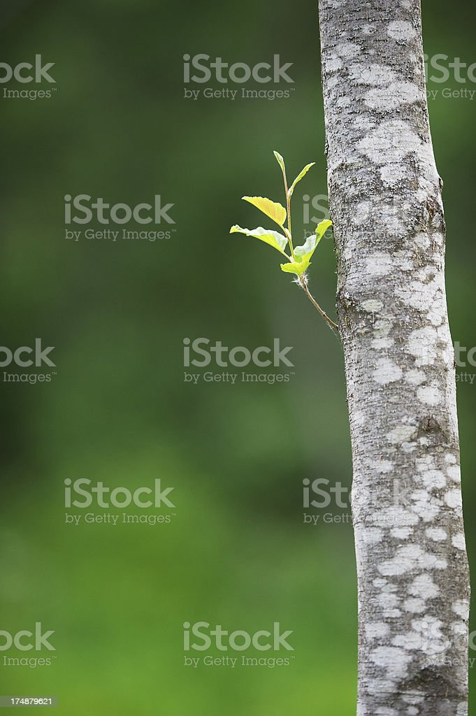 Sprouting from the trunk stock photo