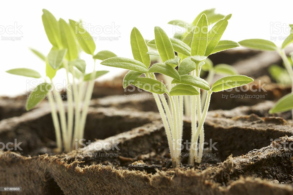Sprouting Plants on White Background royalty-free stock photo