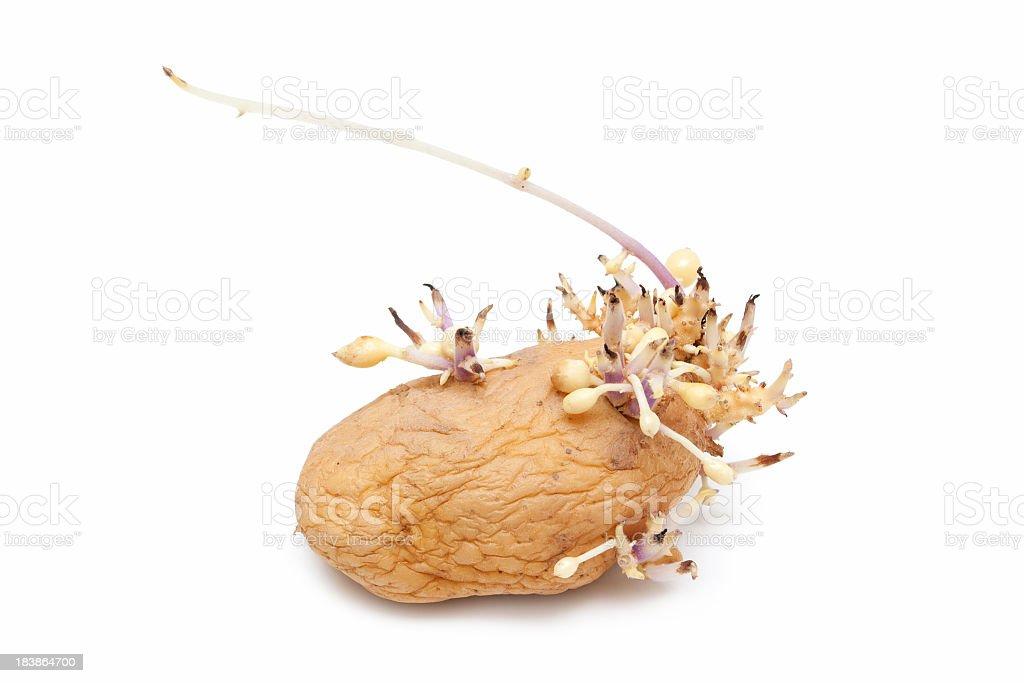 Sprouting potato isolated on the white background stock photo