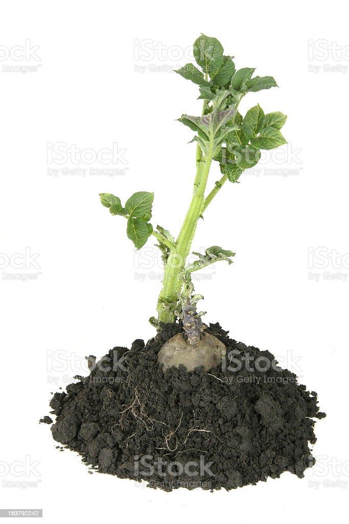 Sprouting potato stock photo