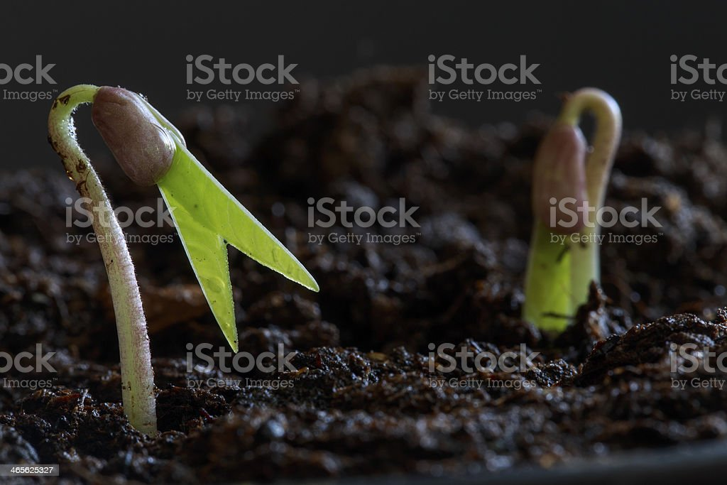 Sprouting Seed stock photo