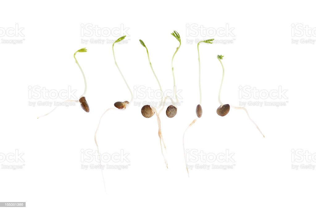 Sprouting Seedlings stock photo