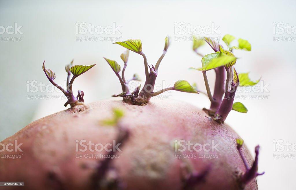 sprouting sweet potato stock photo