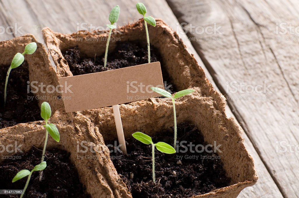 Sprouting tomato seedlings with cardboard and copyspace stock photo