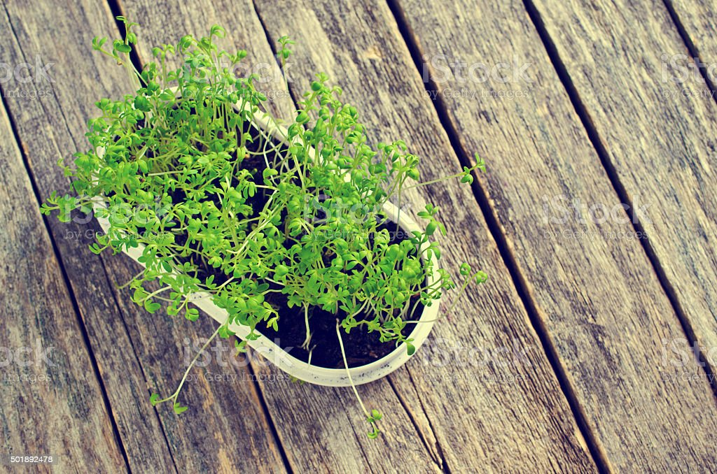 Sprouts fresh cress stock photo