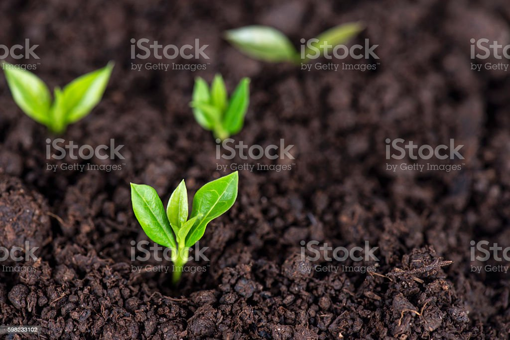 Sprouts in Soil stock photo
