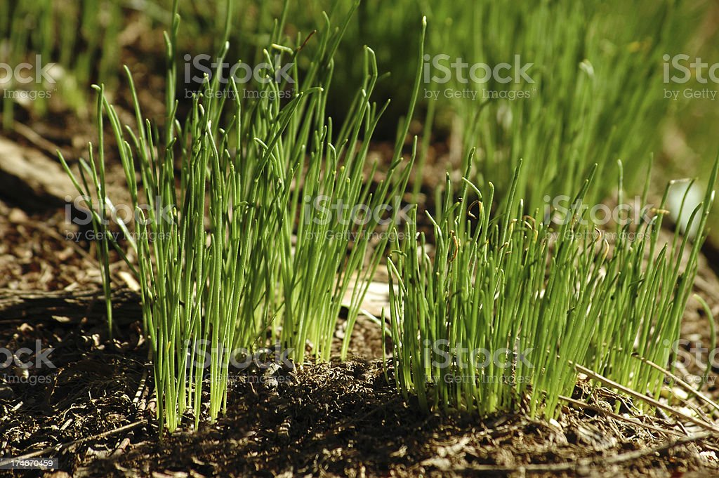 sprouts in the soil royalty-free stock photo