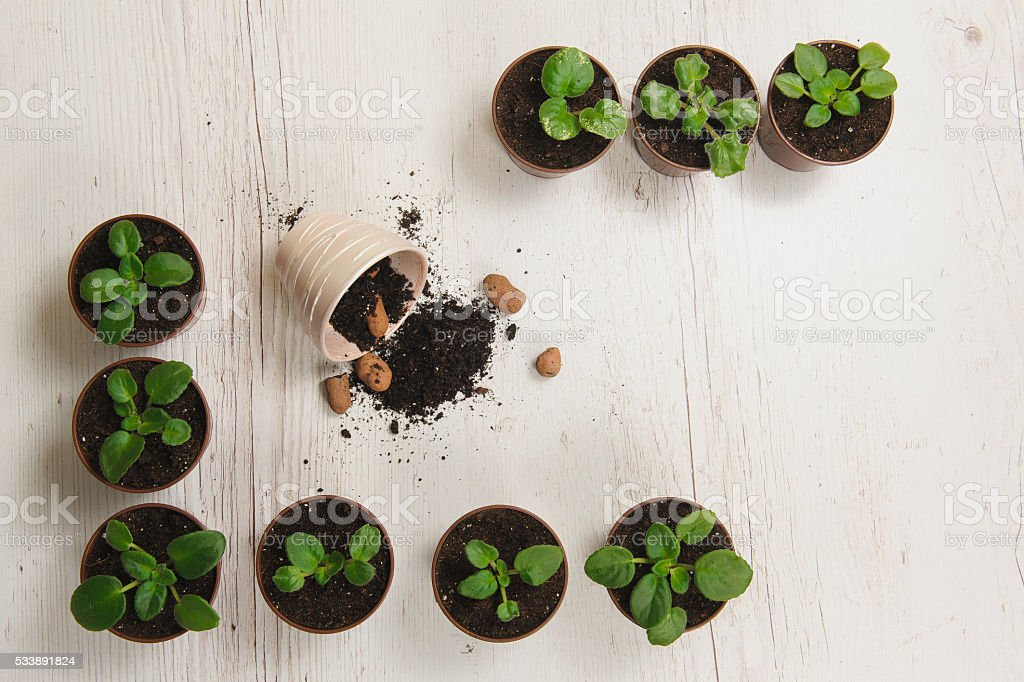 Sprouts indoor plants in pots stock photo