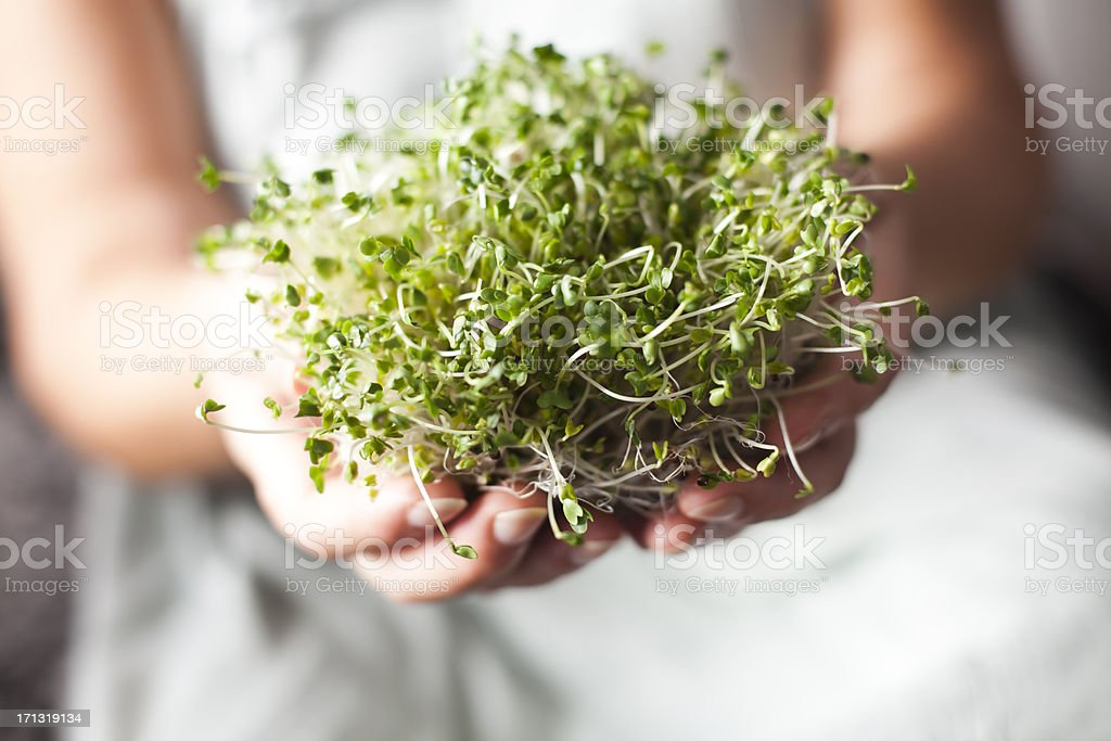 Sprouts Of Broccoli In Hands stock photo