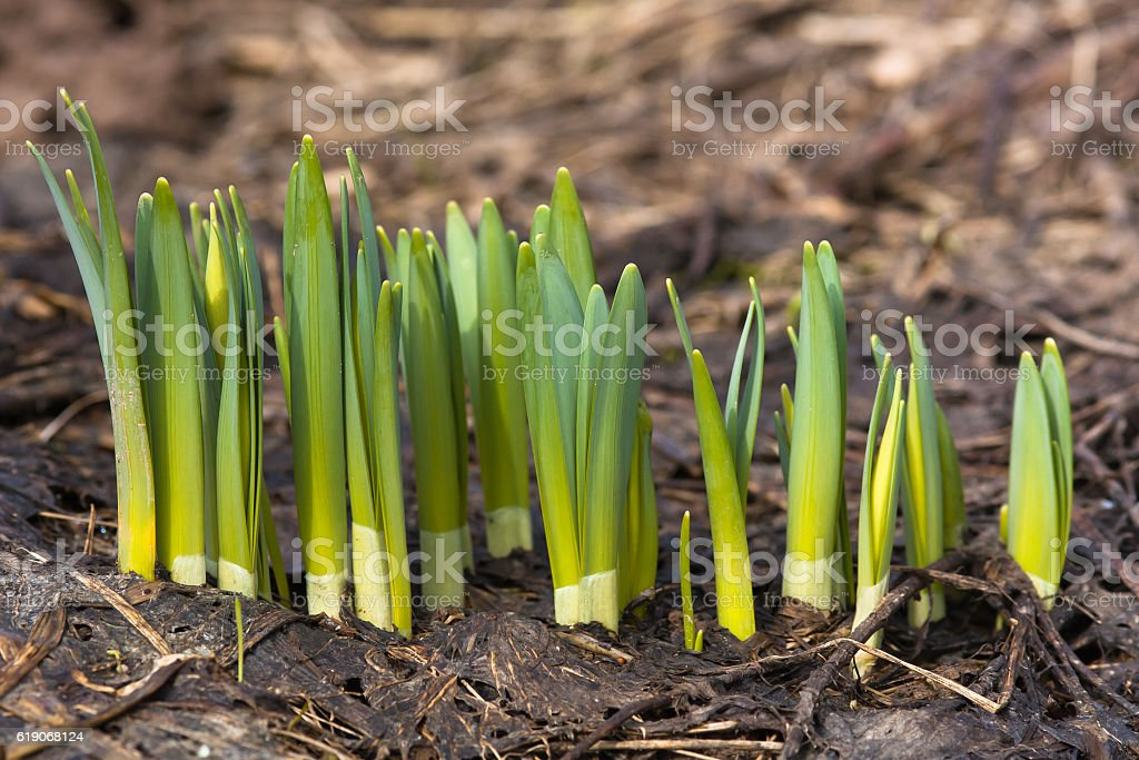 sprouts of daffodils on the flower bed stock photo