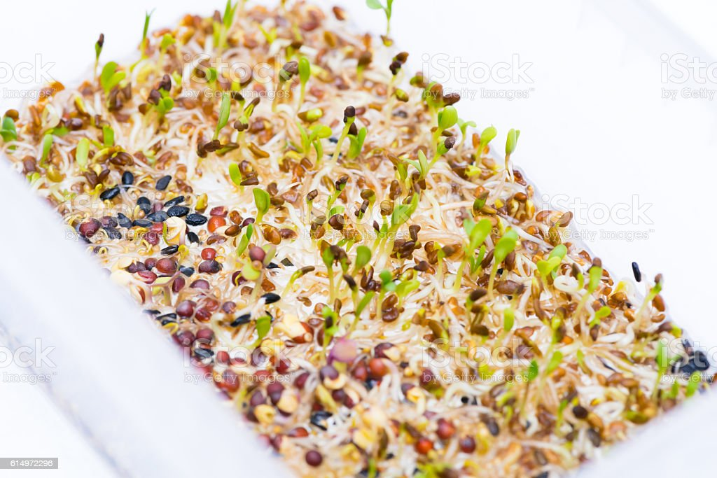 sprouts of sesame seed and mustard stock photo