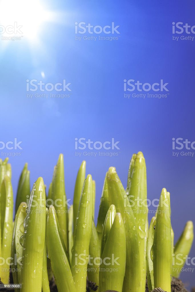sprouts royalty-free stock photo
