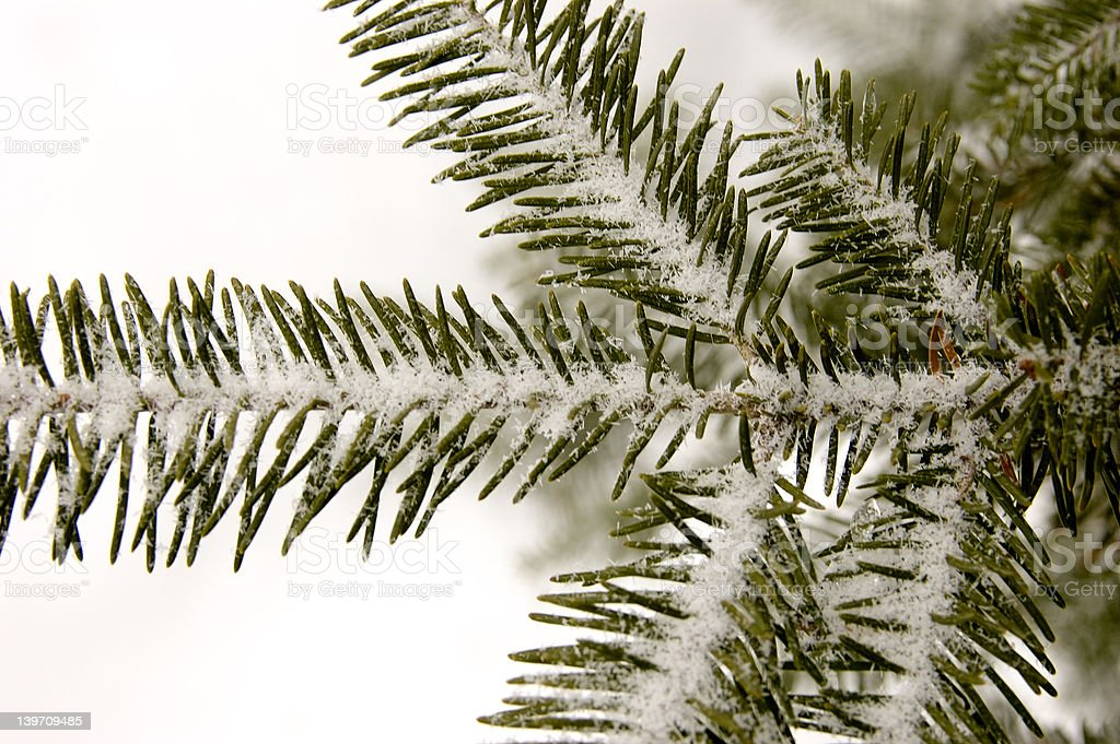 Spruce Bough and Ince royalty-free stock photo