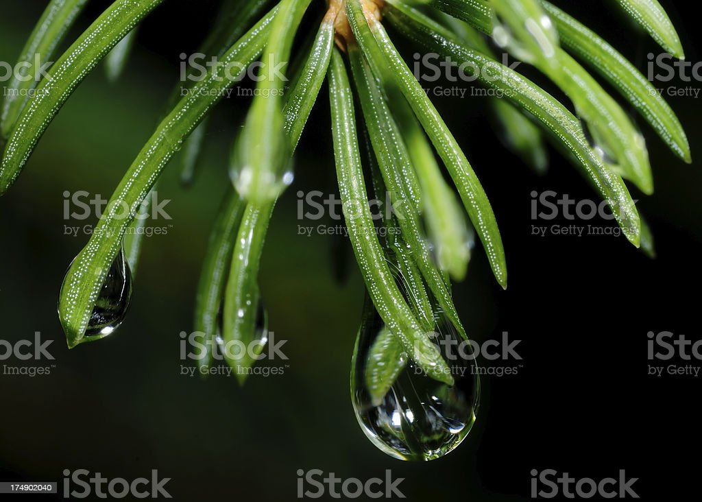Spruce branch and drop of water royalty-free stock photo