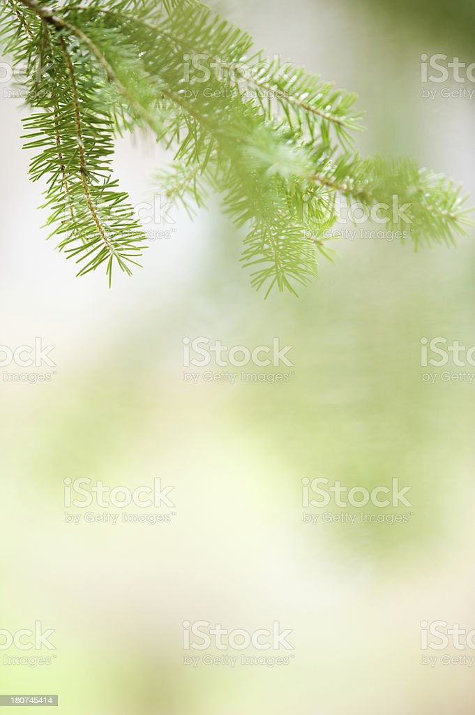 Spruce branch and needles royalty-free stock photo