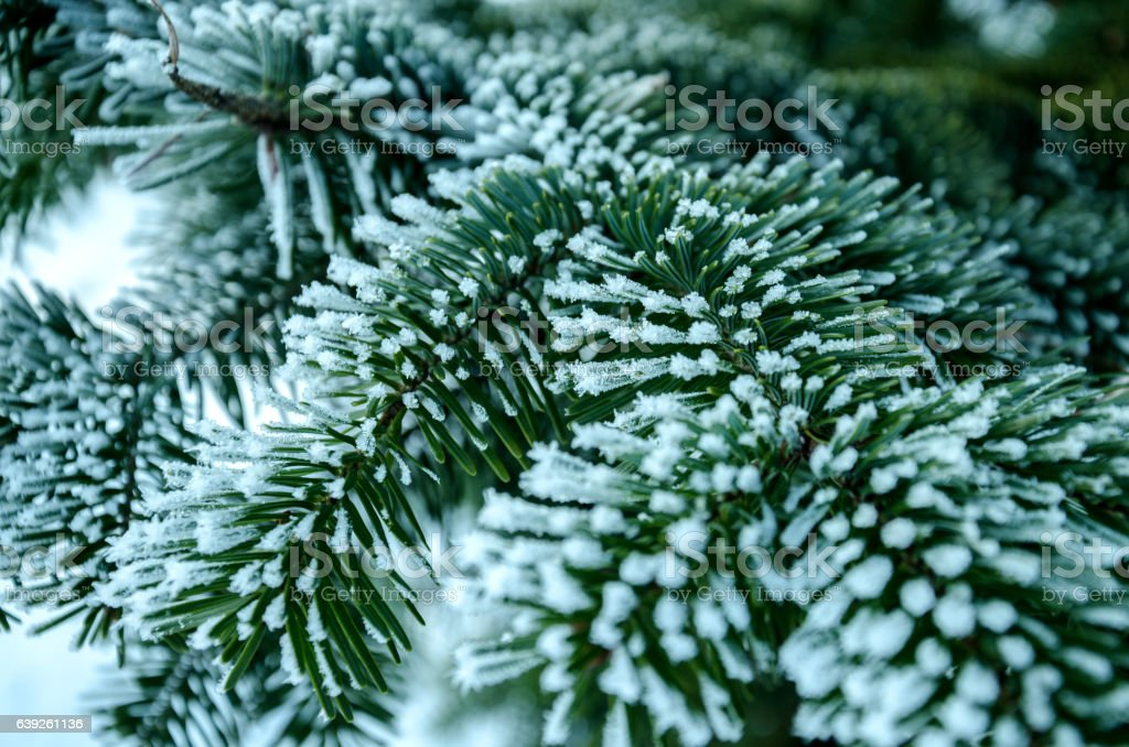 Spruce branch covered iniem stock photo
